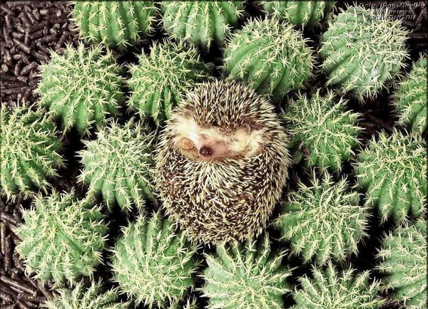 Hedgehogs season
